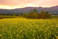 長野県 飯山の菜の花
