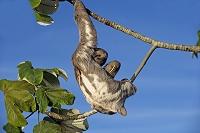 ブラジル アマゾン盆地 ノドジロミユビナマケモノ