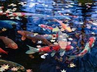 長野県 小諸市 鯉