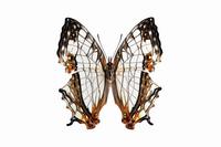 蝶 標本 イシガキチョウ 日本