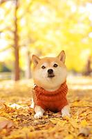 柴犬 昭和記念公園 イチョウ