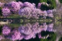 長野県 中綱湖のヤマザクラ