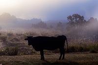 熊本県 阿蘇外輪山の朝 黒毛和牛