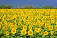 山梨県 明野のヒマワリ畑