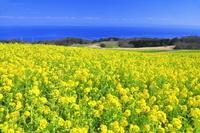 兵庫県 あわじ花さじきの菜の花