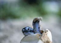 沖縄県 アオウミガメの赤ちゃん