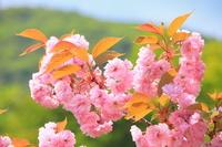 秋田県 八重桜咲く
