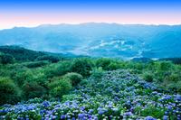 アジサイの花咲く美の山公園