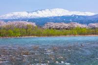 山形県 赤川の桜並木と月山