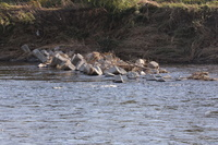 多摩川 浸食で置かれた波消しブロック