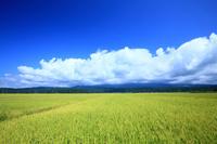 山形県 遊佐町 鳥海山の裾野に広がる稲田