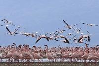 ケニア ナクル湖 フラミンゴの群れ