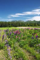 北海道 麓郷展望台とルピナスと前富良野岳