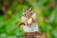 ドングリを食べるエゾシマリス
