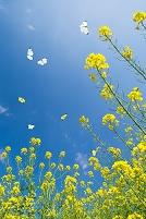 輝き 花 菜の花
