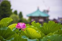 東京都 上野公園 不忍池 蓮の花と弁天堂
