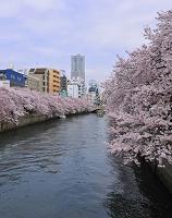 神奈川県 大岡川の桜祭り