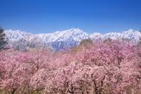 長野県 小川村より北アルプスと桜