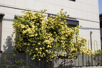 モッコウバラ ルテア 木香薔薇