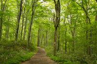 青森県 白神山地の十二湖のブナ自然林