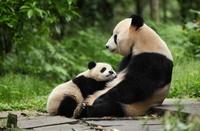 パンダの親子 中国パンダ保護研究センター