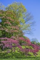 東京都 小石川後楽園 小蘆山の紅葉