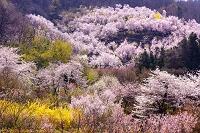 福島県 福島市 花見山 レンギョウ・ハナモモ・ハナモクレン・桜