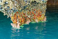 岩手県 浄土ヶ浜 青の洞窟のイソギンチャク