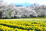 山梨県 水仙と桜