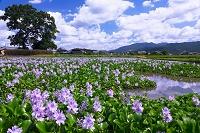 奈良県 ホテイアオイ