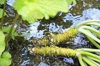 静岡県 伊豆市 収穫されたばかりの山葵と天城の天然水