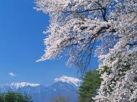 山梨県 桜咲く清春芸術村より南アルプス(アサヨ峰、甲斐駒ヶ岳)