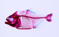 ピラニア (ピラニア・ナッテリー) 透明骨格標本