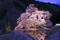 長野県 駒つなぎの桜のライトアップ