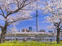 東京都 浅草 隅田公園の桜と東京スカイツリー