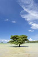 沖縄県 八重山諸島 西表島 マングローブ