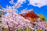京都府 桜の咲く仁和寺