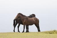 宮崎県 都井岬の野生馬