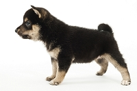 シバ 横を向いて立っている仔犬
