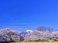 山梨県 甲斐駒ケ岳と実相寺の神代桜