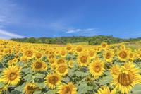 福島県 三ノ倉高原ひまわり畑