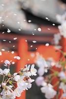 日本 桜と鳥居