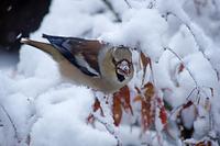 雪に覆われた枝で実を食べるシメ