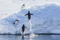 南極大陸 ジェンツーペンギン