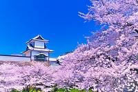 石川県 桜の石川門 金沢城公園