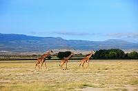 アフリカ アンボセリ国立公園 キリン