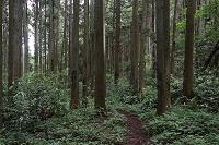 千葉県 鹿野山 スギの植林