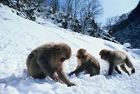 長野県 地獄谷野猿公苑 エサを拾うニホンザル