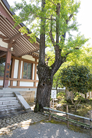 兵庫県 川西市 多田神社 水戸黄門お手植え銀杏