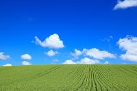 北海道 麦畑とちぎれ雲